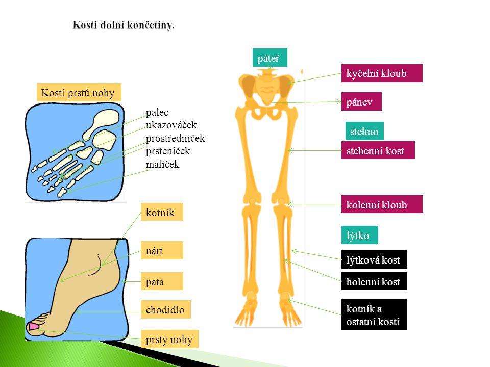 Kosti dolní končetiny. páteř. kyčelní kloub. Kosti prstů nohy. pánev. palec. ukazováček. prostředníček.