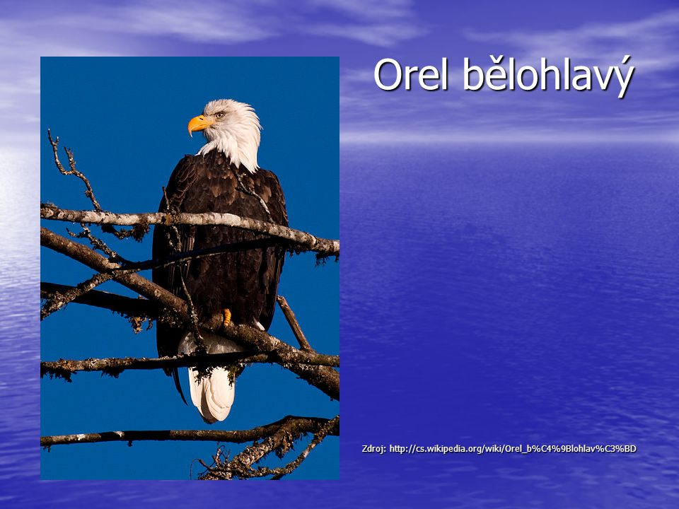 Orel bělohlavý Zdroj: http://cs.wikipedia.org/wiki/Orel_b%C4%9Blohlav%C3%BD