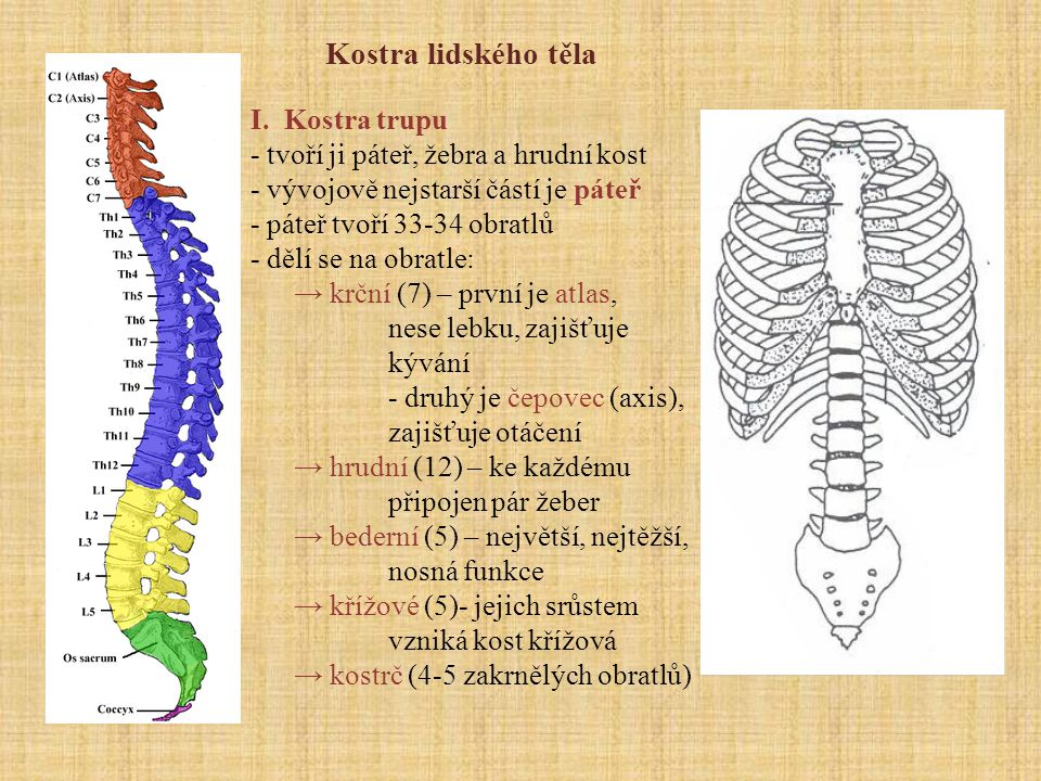 Kostra lidského těla I. Kostra trupu