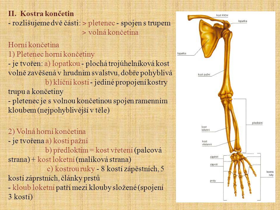 II. Kostra končetin - rozlišujeme dvě části: ˃ pletenec - spojen s trupem. ˃ volná končetina. Horní končetina.