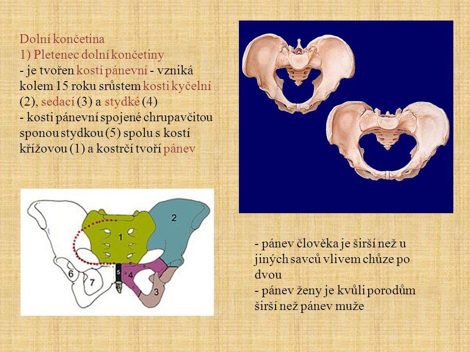 Dolní končetina 1) Pletenec dolní končetiny. - je tvořen kostí pánevní - vzniká kolem 15 roku srůstem kosti kyčelní (2), sedací (3) a stydké (4)