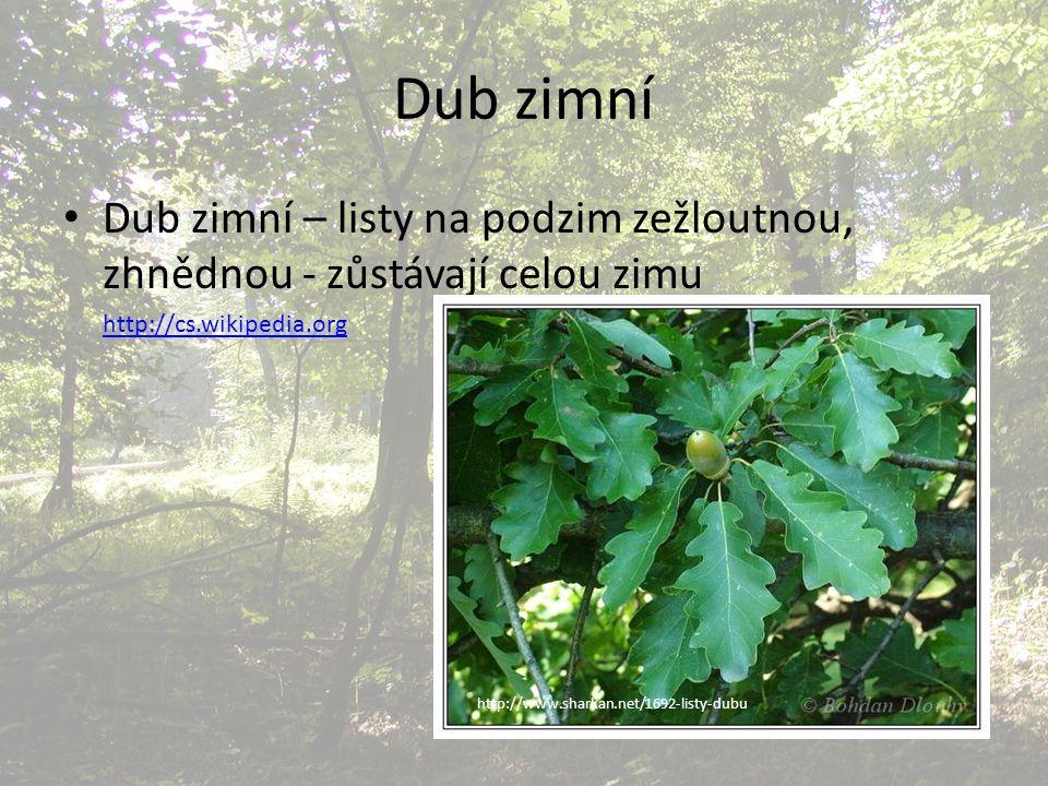 Dub zimní Dub zimní – listy na podzim zežloutnou, zhnědnou - zůstávají celou zimu. http://cs.wikipedia.org.