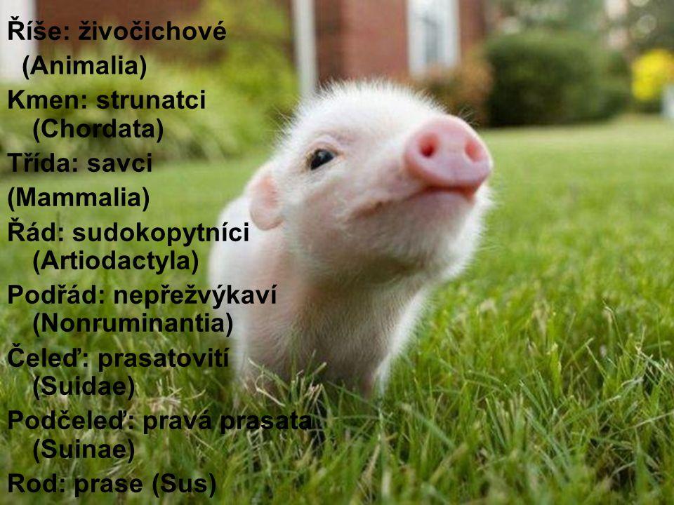Říše: živočichové (Animalia) Kmen: strunatci (Chordata) Třída: savci. (Mammalia) Řád: sudokopytníci (Artiodactyla)