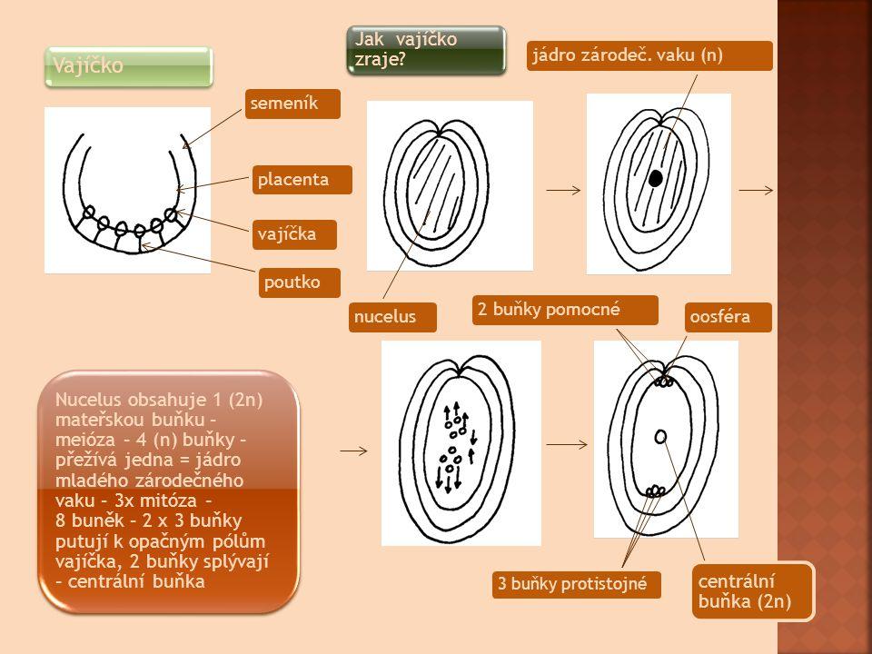 Jak vajíčko zraje jádro zárodeč. vaku (n) Vajíčko semeník placenta