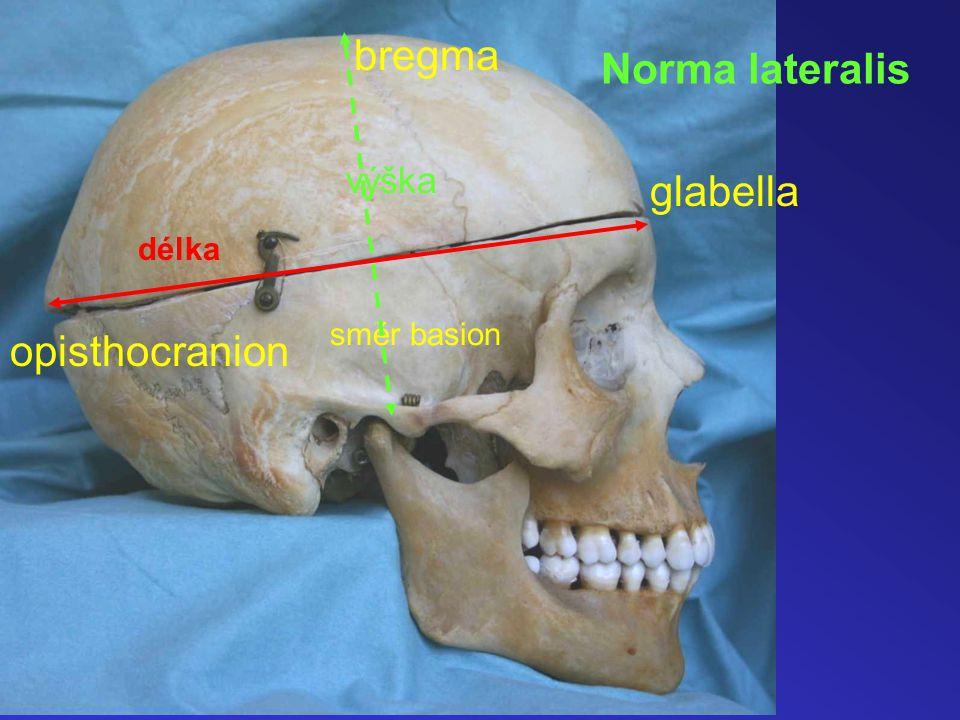 bregma Norma lateralis výška glabella délka směr basion opisthocranion