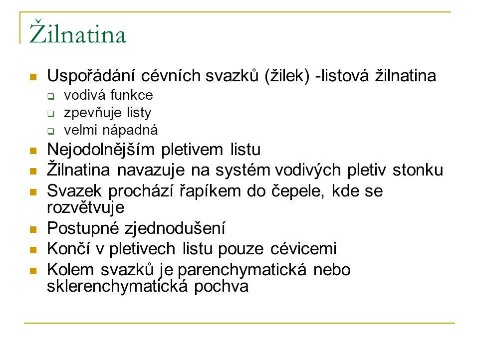 Žilnatina Uspořádání cévních svazků (žilek) -listová žilnatina