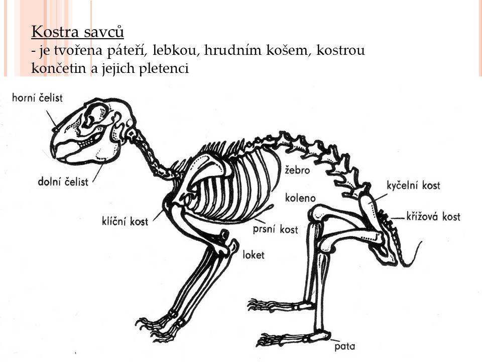 Kostra savců - je tvořena páteří, lebkou, hrudním košem, kostrou končetin a jejich pletenci