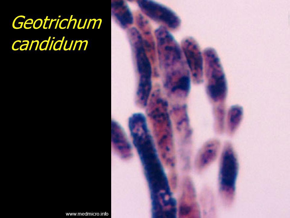 Geotrichum candidum www.medmicro.info