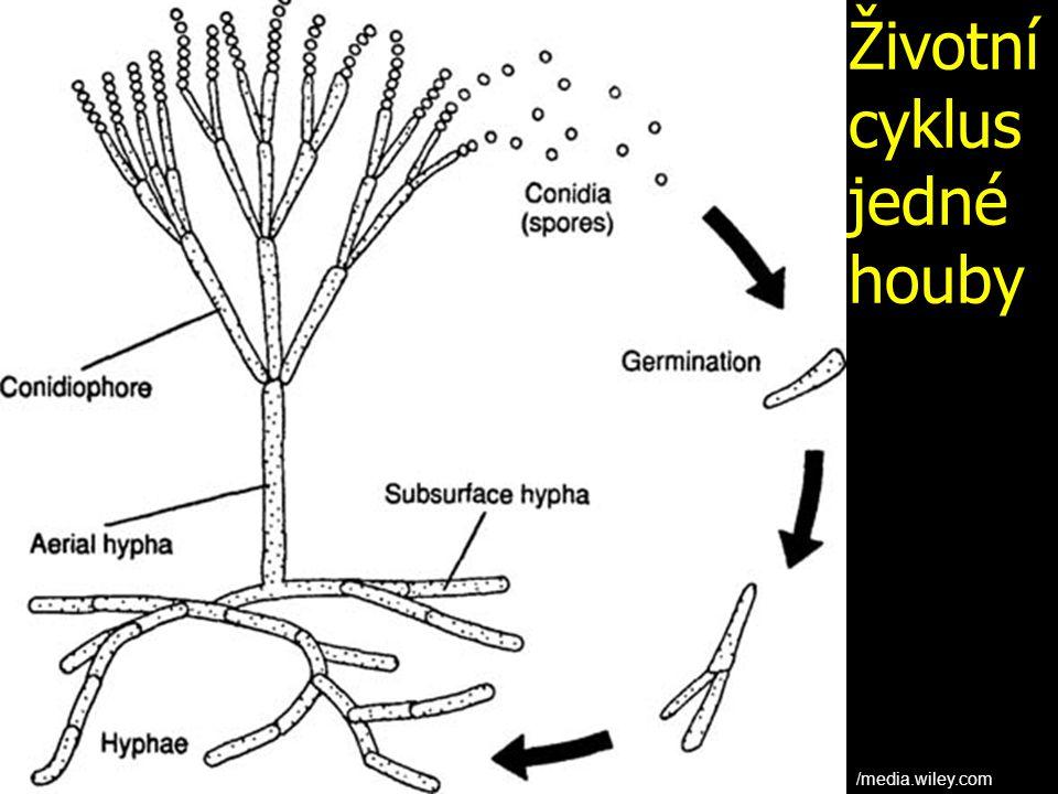 Životní cyklus jedné houby