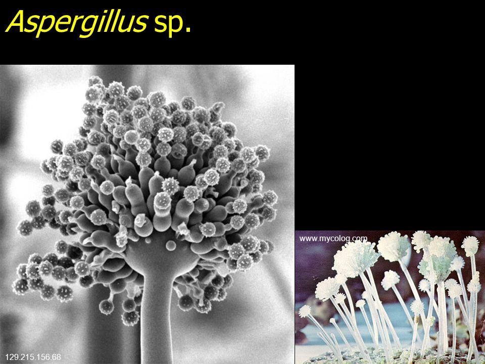 Aspergillus sp. www.mycolog.com 129.215.156.68