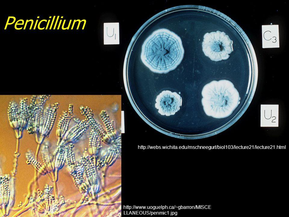 Penicillium http://webs.wichita.edu/mschneegurt/biol103/lecture21/lecture21.html.