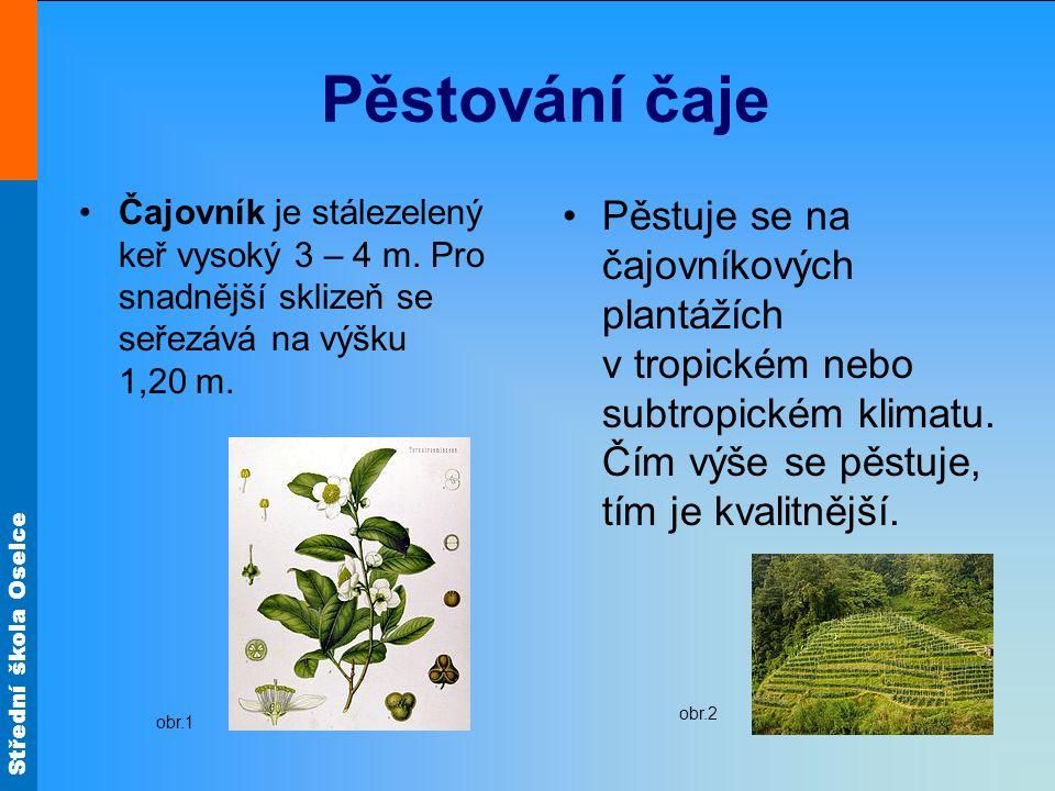 Pěstování čaje Čajovník je stálezelený keř vysoký 3 – 4 m. Pro snadnější sklizeň se seřezává na výšku 1,20 m.