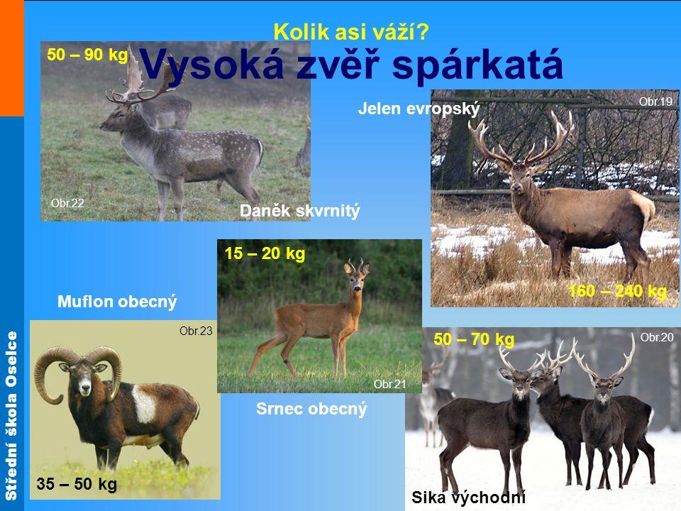Vysoká zvěř spárkatá Kolik asi váží 50 – 90 kg Jelen evropský