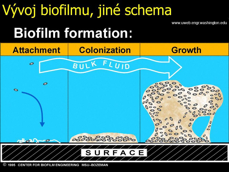 Vývoj biofilmu, jiné schema