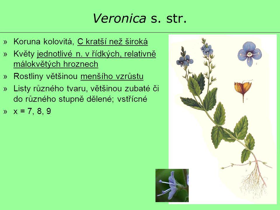 Veronica s. str. Koruna kolovitá, C kratší než široká
