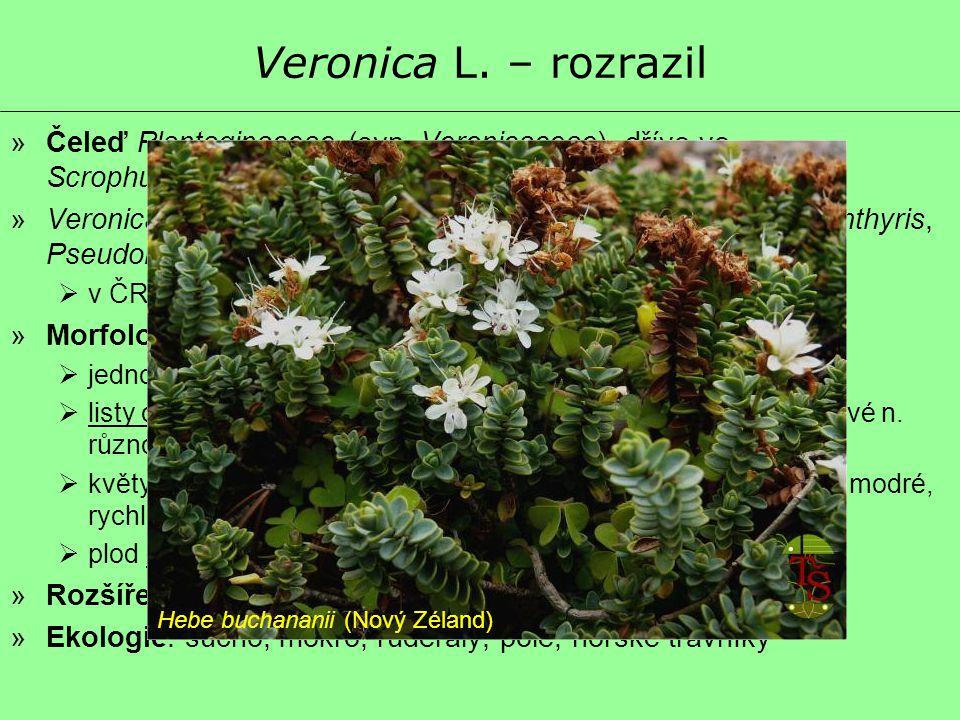 Veronica L. – rozrazil Čeleď Plantaginaceae (syn. Veronicaceae), dříve ve Scrophulariaceae.