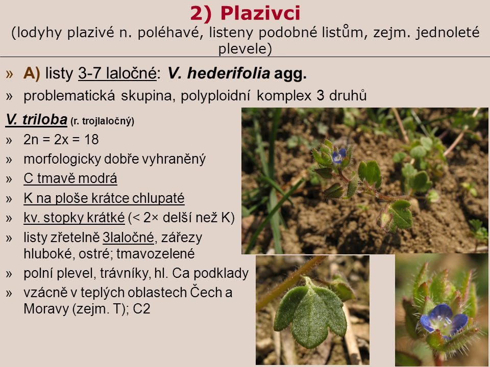 2) Plazivci (lodyhy plazivé n. poléhavé, listeny podobné listům, zejm