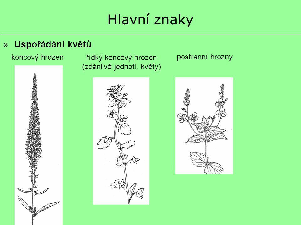 (zdánlivě jednotl. květy)