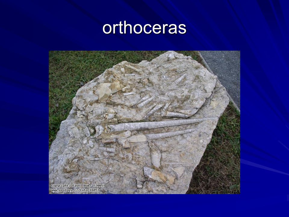 orthoceras