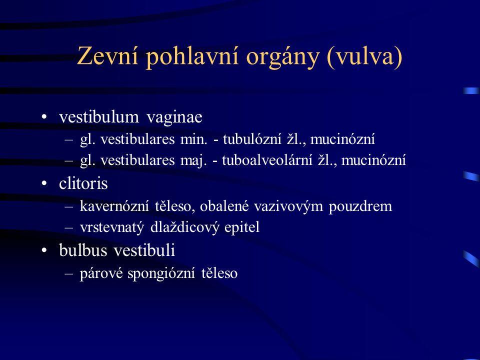Zevní pohlavní orgány (vulva)