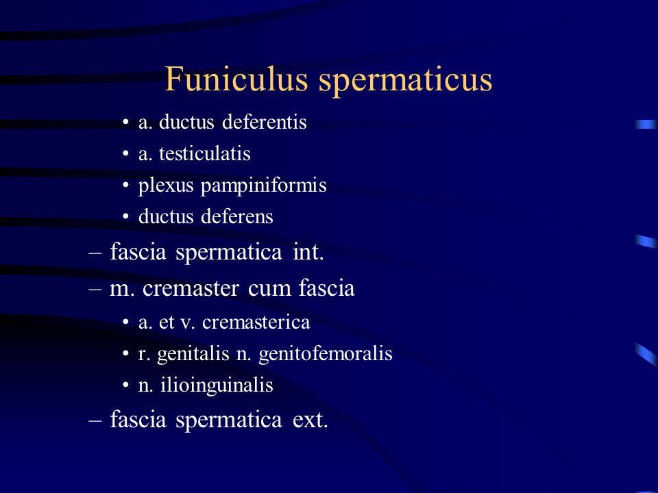 Funiculus spermaticus