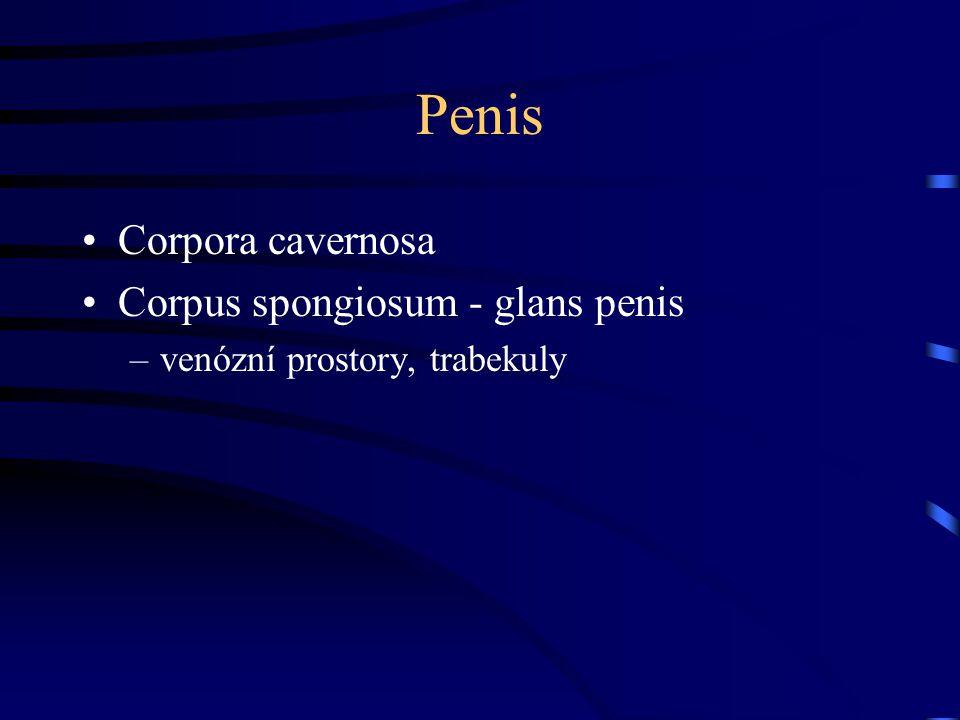Penis Corpora cavernosa Corpus spongiosum - glans penis