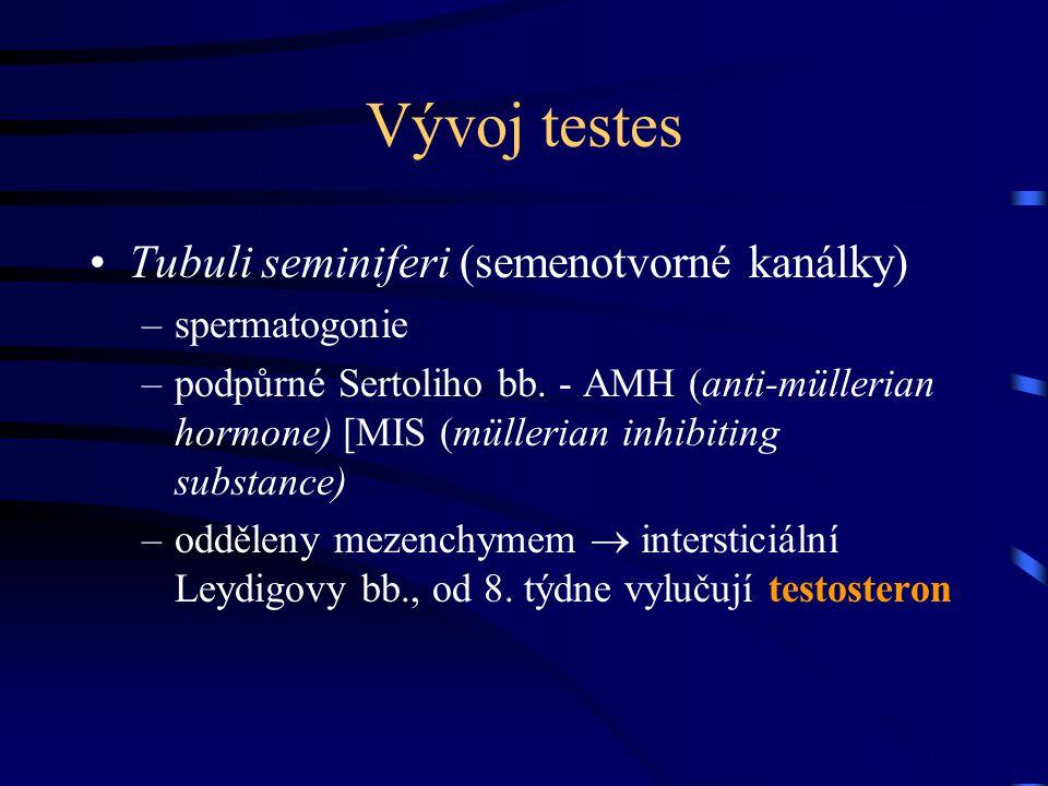 Vývoj testes Tubuli seminiferi (semenotvorné kanálky) spermatogonie