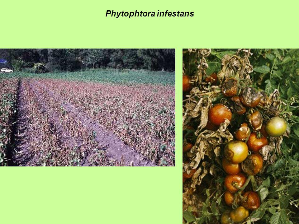 Phytophtora infestans