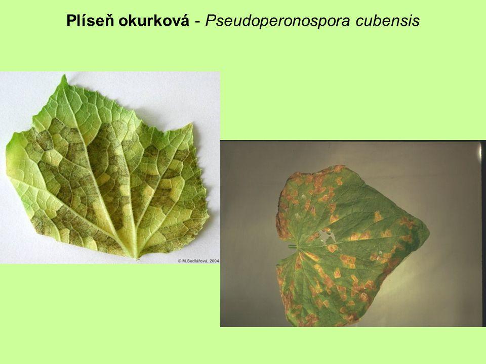 Plíseň okurková - Pseudoperonospora cubensis