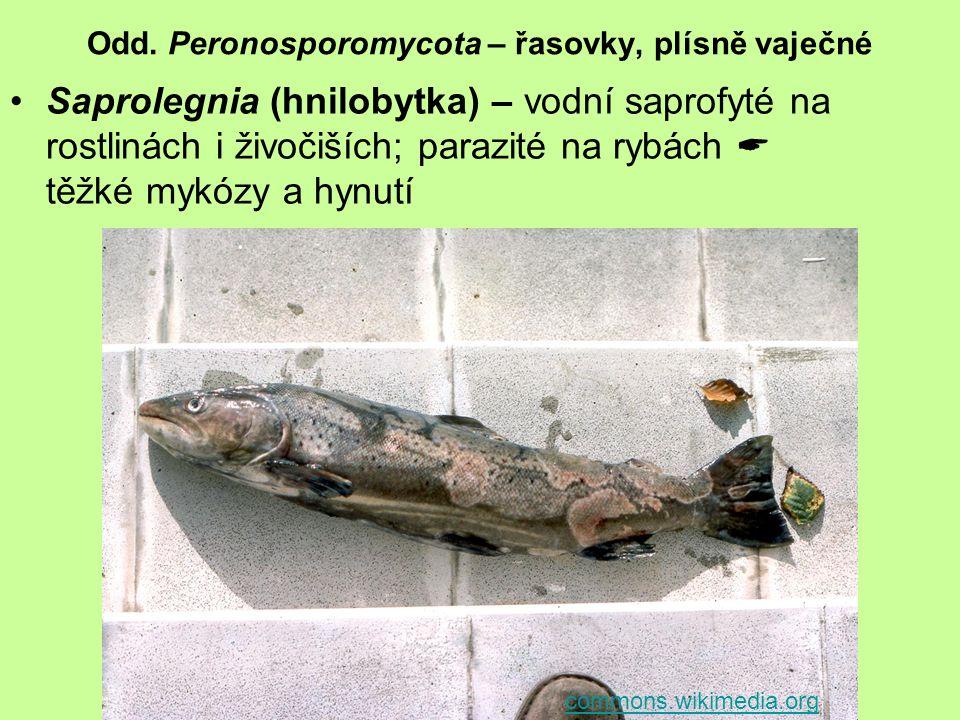 Odd. Peronosporomycota – řasovky, plísně vaječné