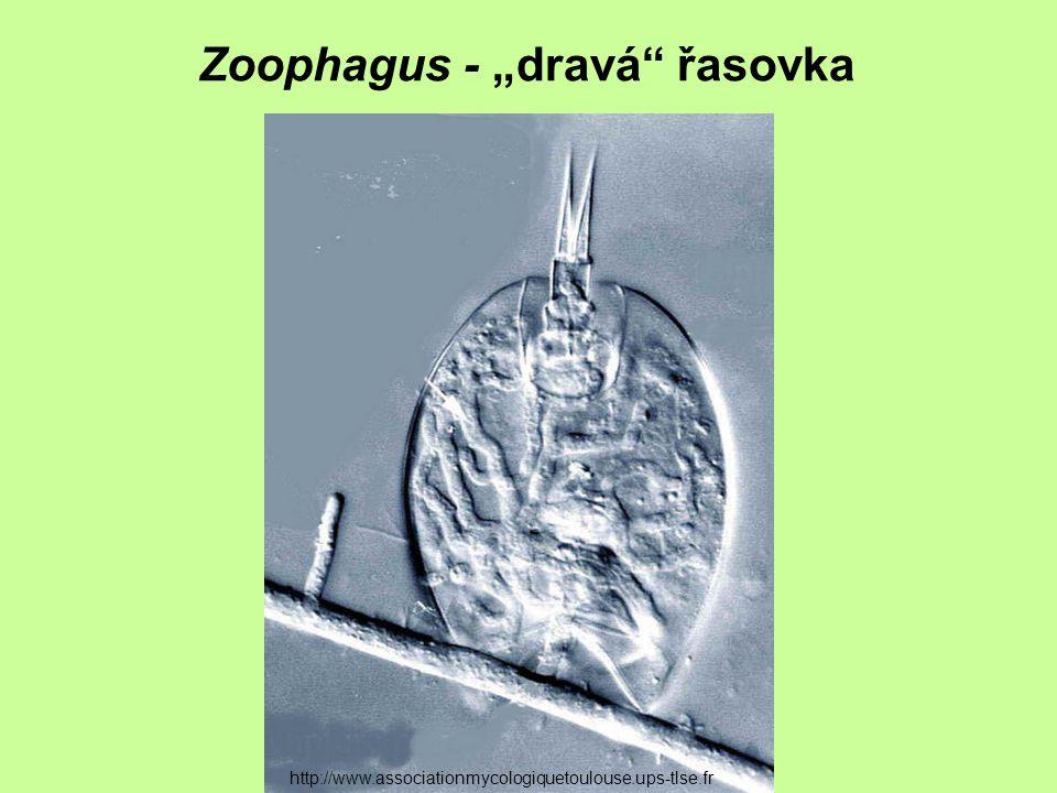 "Zoophagus - ""dravá řasovka"