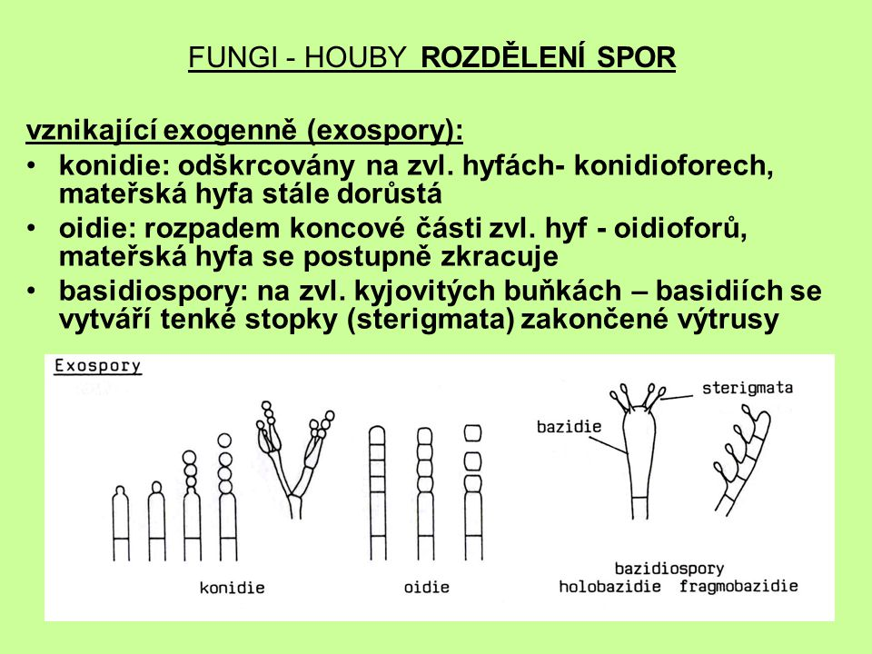 FUNGI - HOUBY ROZDĚLENÍ SPOR