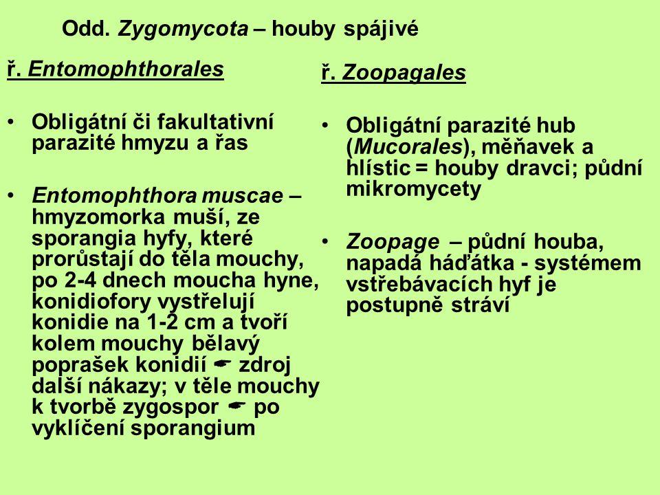 Odd. Zygomycota – houby spájivé