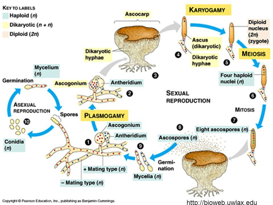 Odd. ASCOMYCOTA - vřeckovýtrusé houby