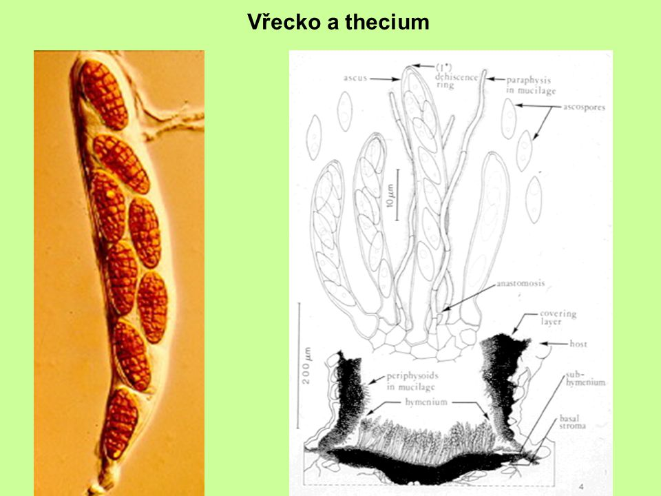 Vřecko a thecium