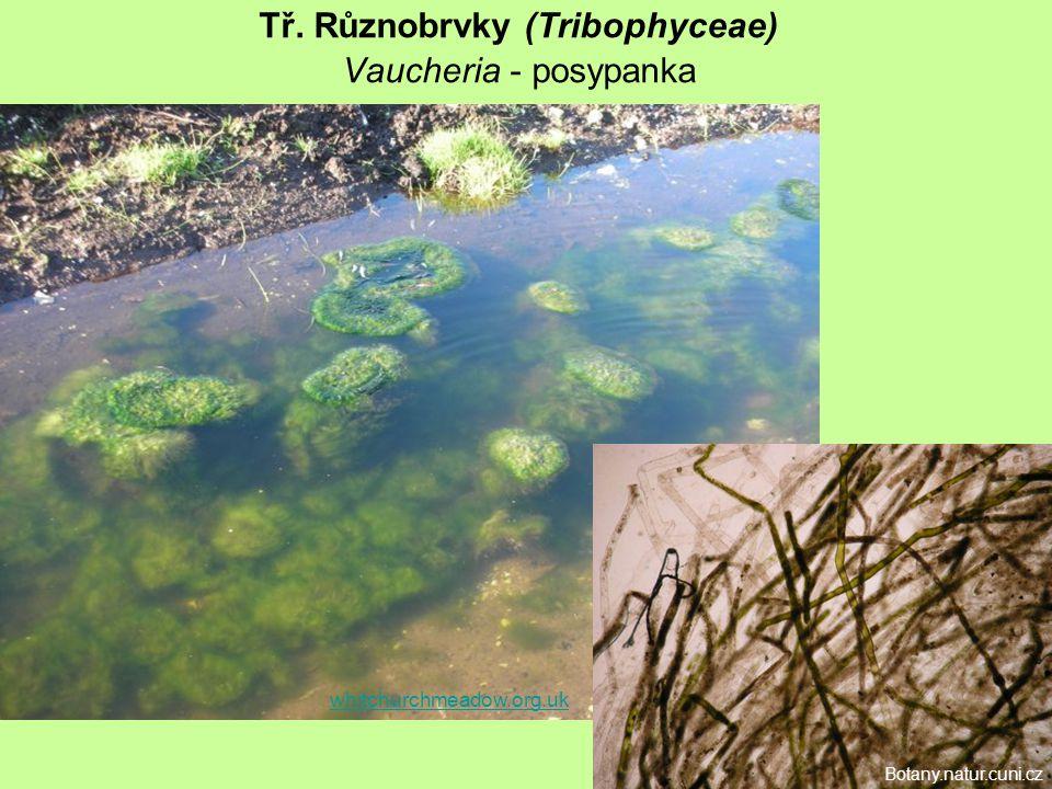 Tř. Různobrvky (Tribophyceae) Vaucheria - posypanka