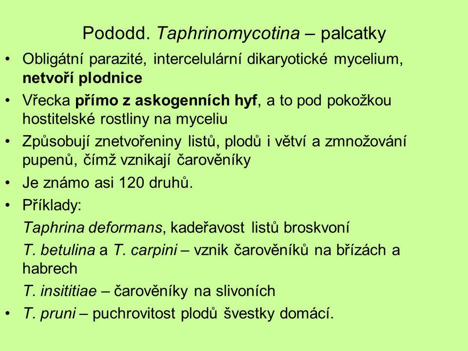 Pododd. Taphrinomycotina – palcatky