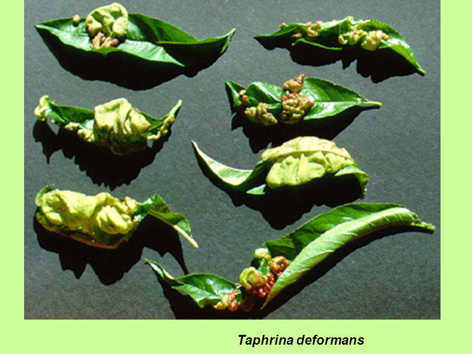 Taphrina deformans