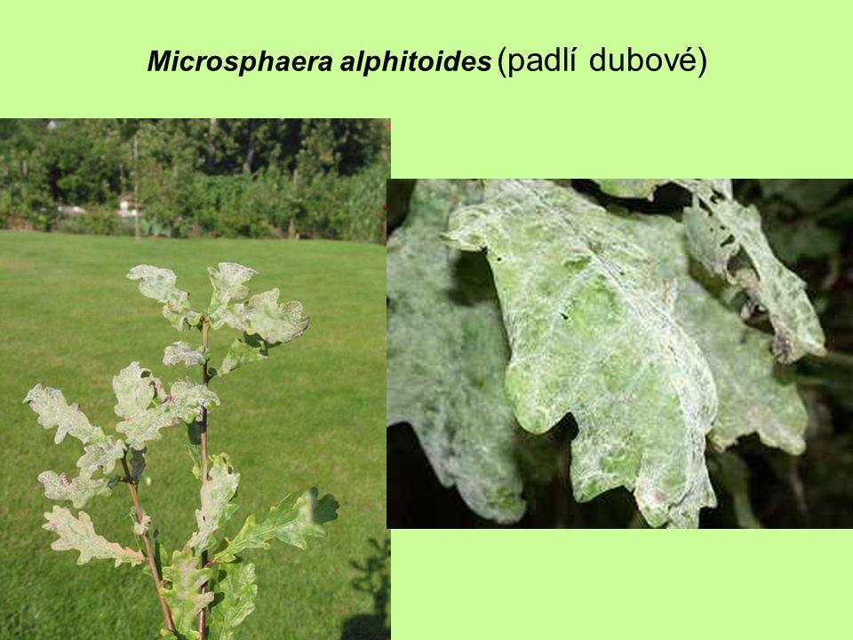 Microsphaera alphitoides (padlí dubové)
