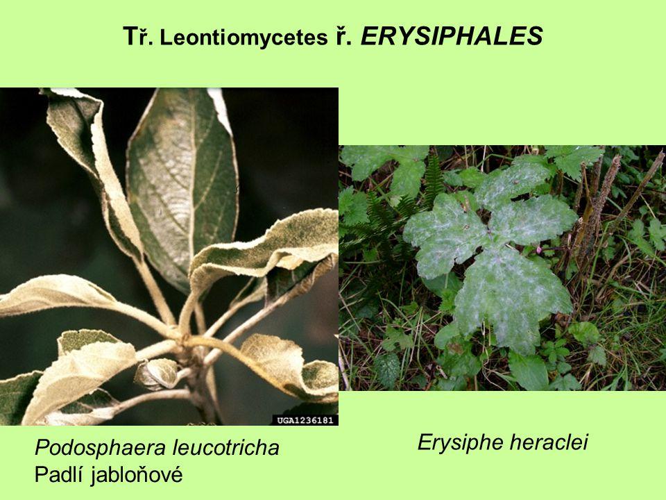 Tř. Leontiomycetes ř. ERYSIPHALES
