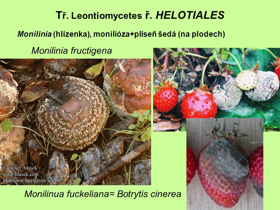 Tř. Leontiomycetes ř. HELOTIALES