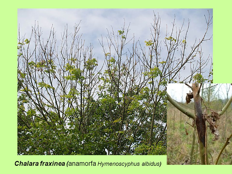 Chalara fraxinea (anamorfa Hymenoscyphus albidus)