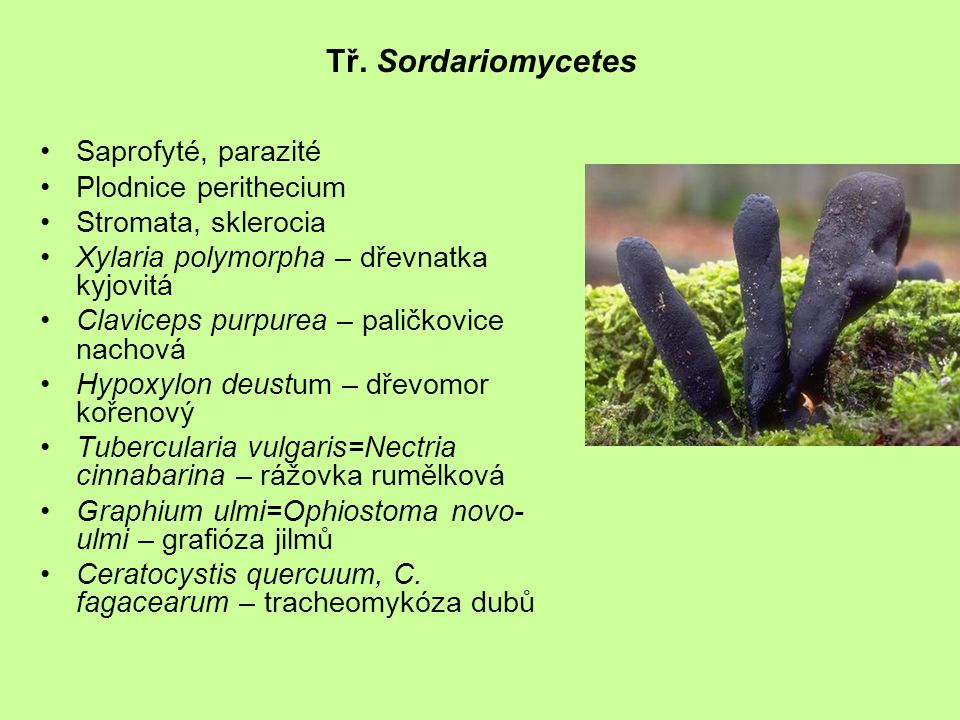 Tř. Sordariomycetes Saprofyté, parazité Plodnice perithecium