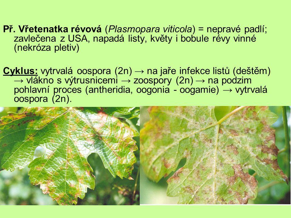 Př. Vřetenatka révová (Plasmopara viticola) = nepravé padlí; zavlečena z USA, napadá listy, květy i bobule révy vinné (nekróza pletiv)