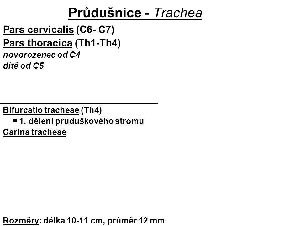 Průdušnice - Trachea Pars cervicalis (C6- C7) Pars thoracica (Th1-Th4)