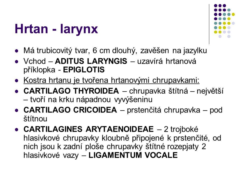 Hrtan - larynx Má trubicovitý tvar, 6 cm dlouhý, zavěšen na jazylku