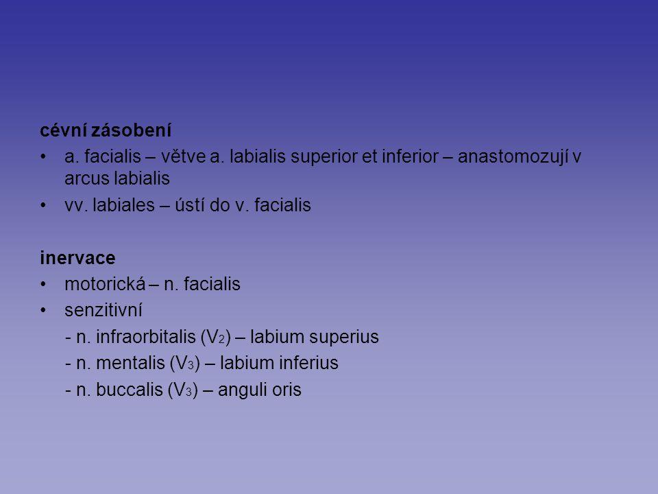 cévní zásobení a. facialis – větve a. labialis superior et inferior – anastomozují v arcus labialis.