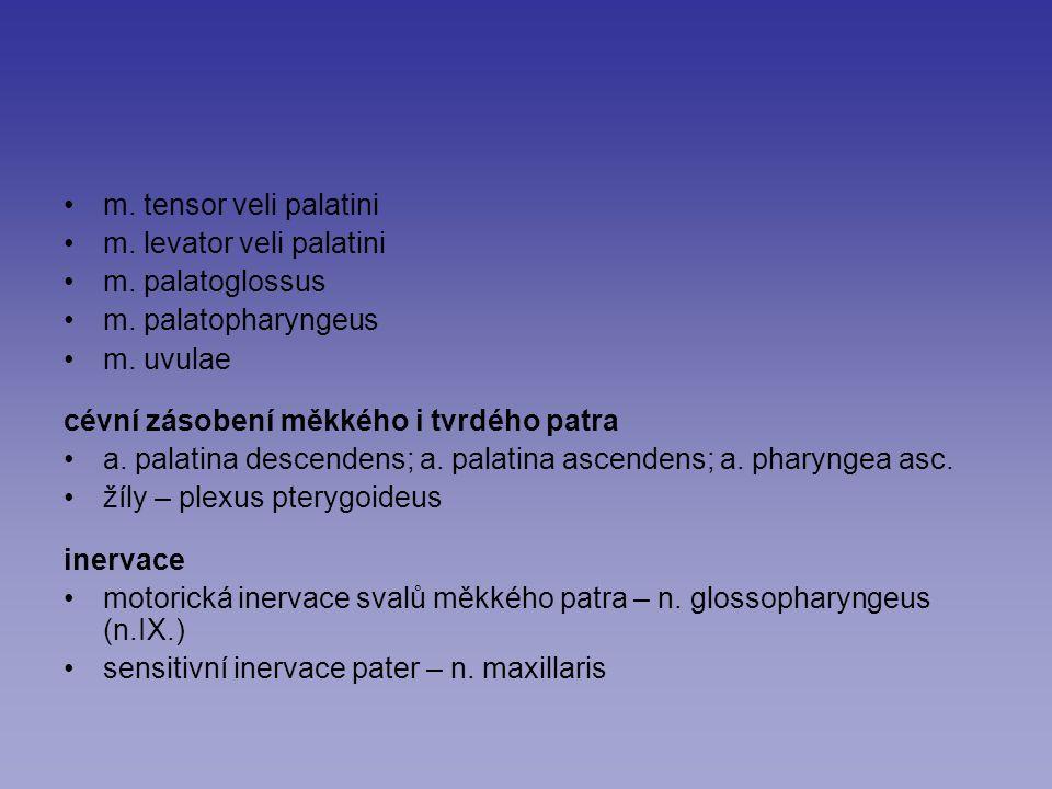 m. tensor veli palatini m. levator veli palatini. m. palatoglossus. m. palatopharyngeus. m. uvulae.