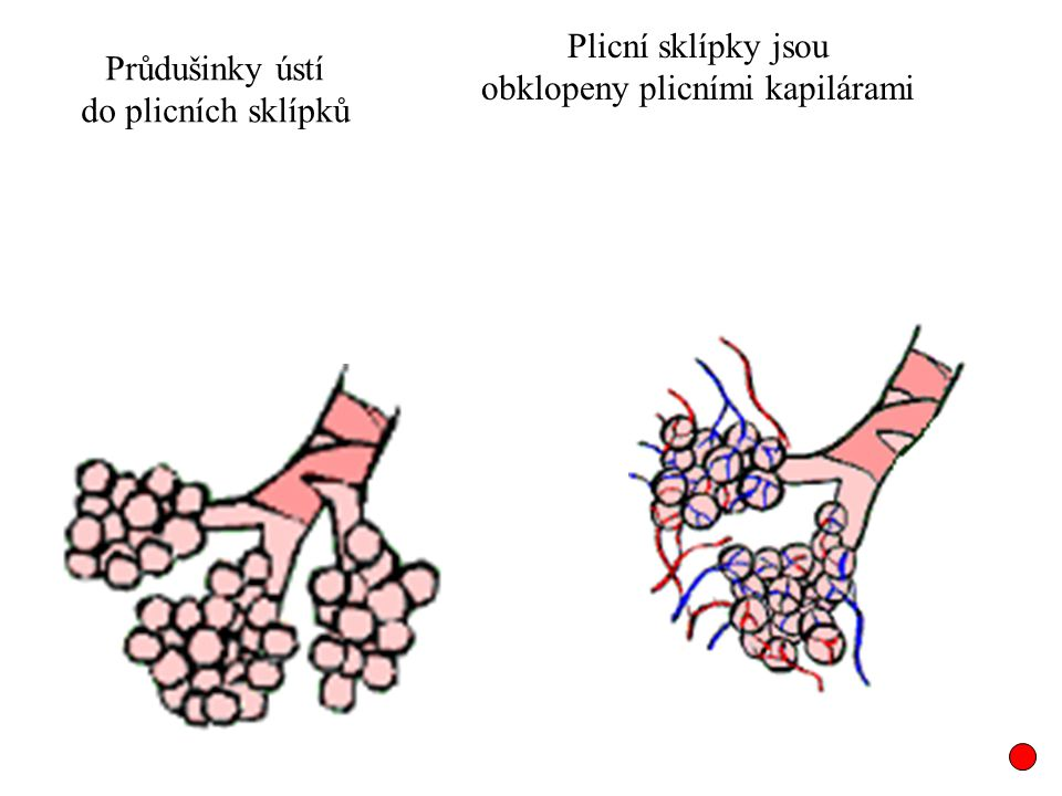 obklopeny plicními kapilárami