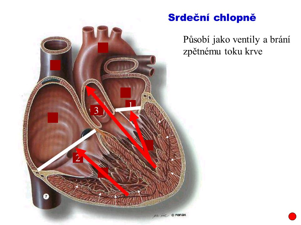 Srdeční chlopně Působí jako ventily a brání zpětnému toku krve 1 3 2